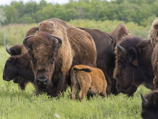 A Prairie Legacy: The Bison and Its People - representative image